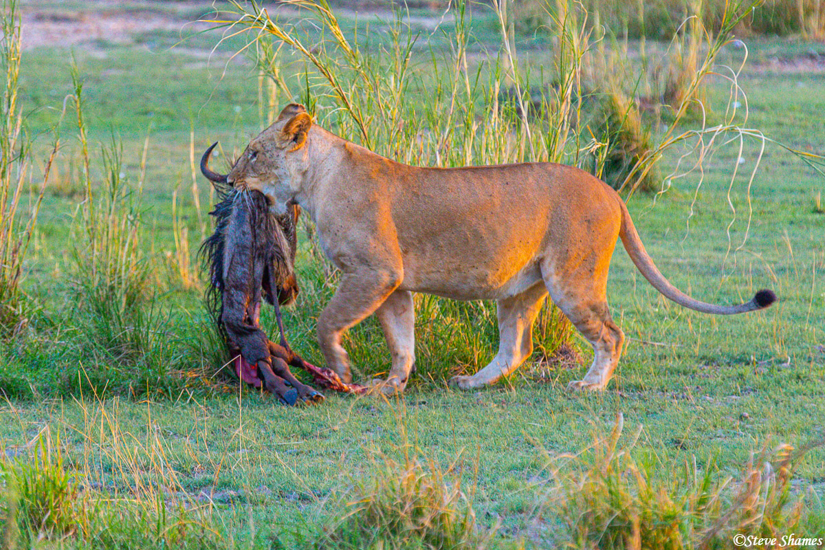 This lion pride was making a kill pretty much every night. When we got there right after sunrise, there was not much left over...
