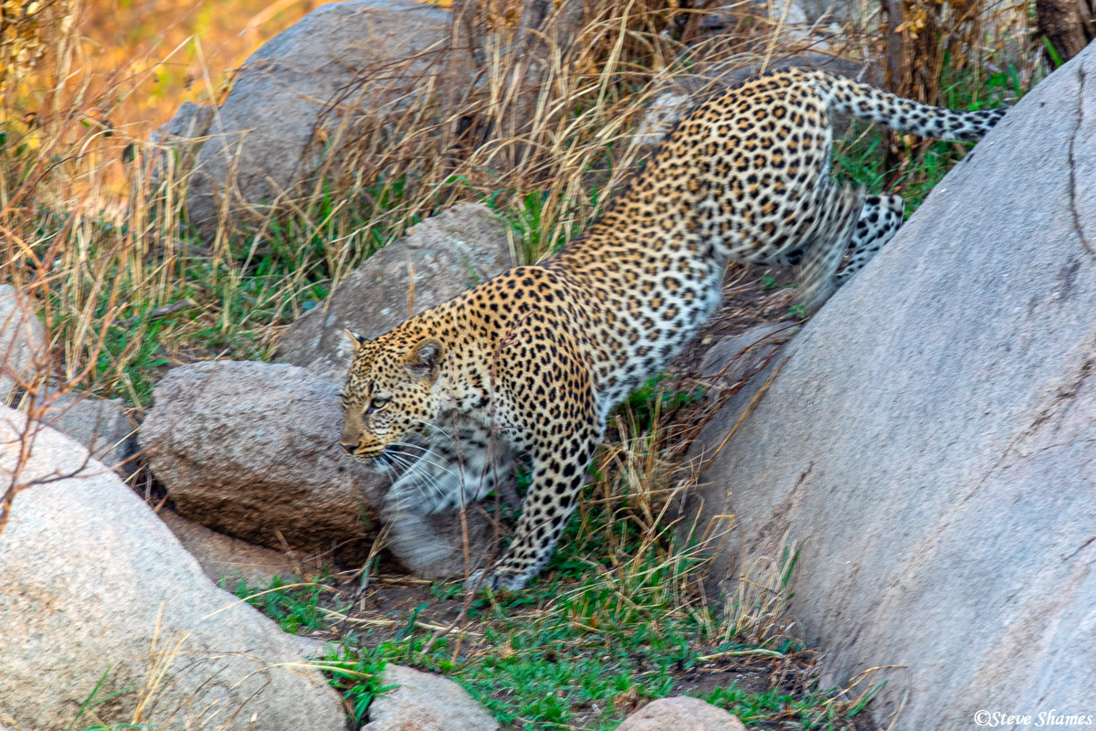 Leopard in the early morning coming down from her rocky perch.