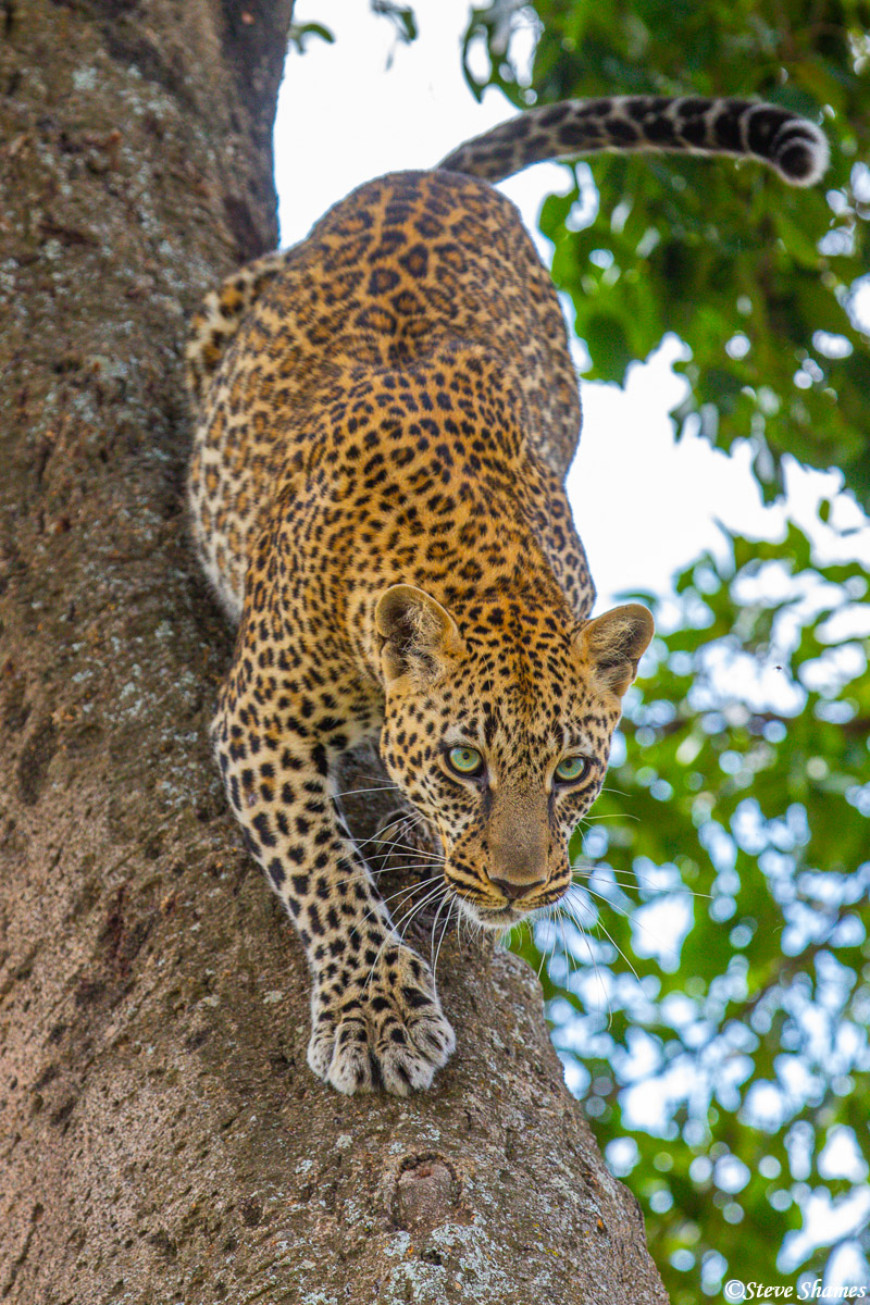 Leopard climbing down out of the tree.
