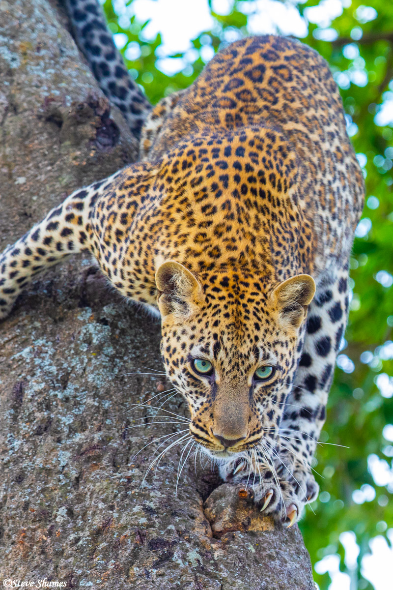 Leopard coming down from the tree, head first like cats do.