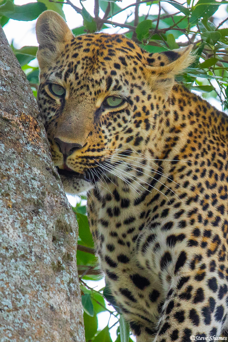 Leopard nuzzling a tree branch.
