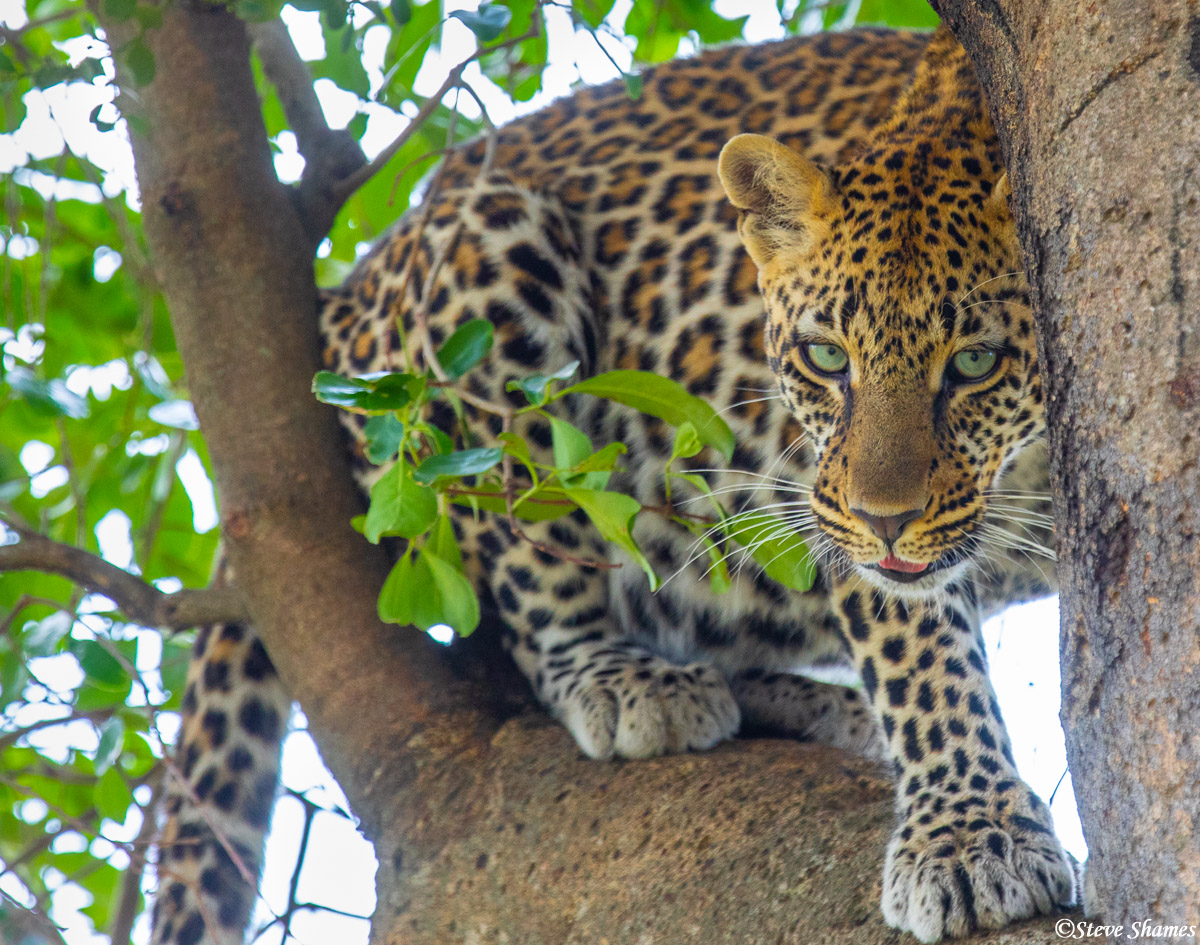 Leopard playing hide and seek among the branches.