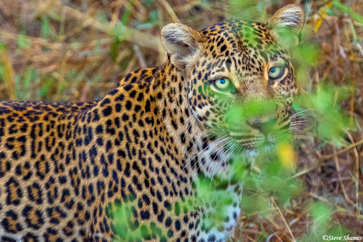 Mother leopard in the bush. I like the big eyes.