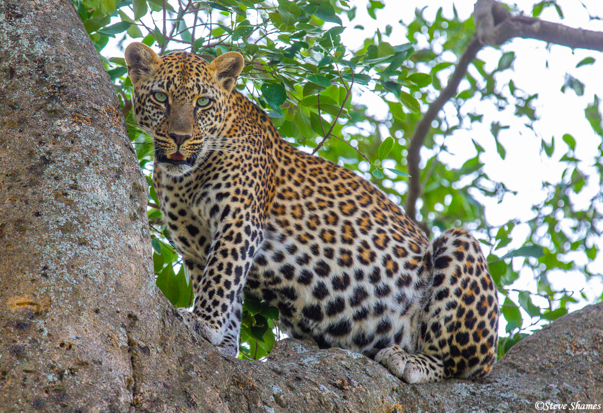 Leopard in a tree. This is the common place to find them during the day.