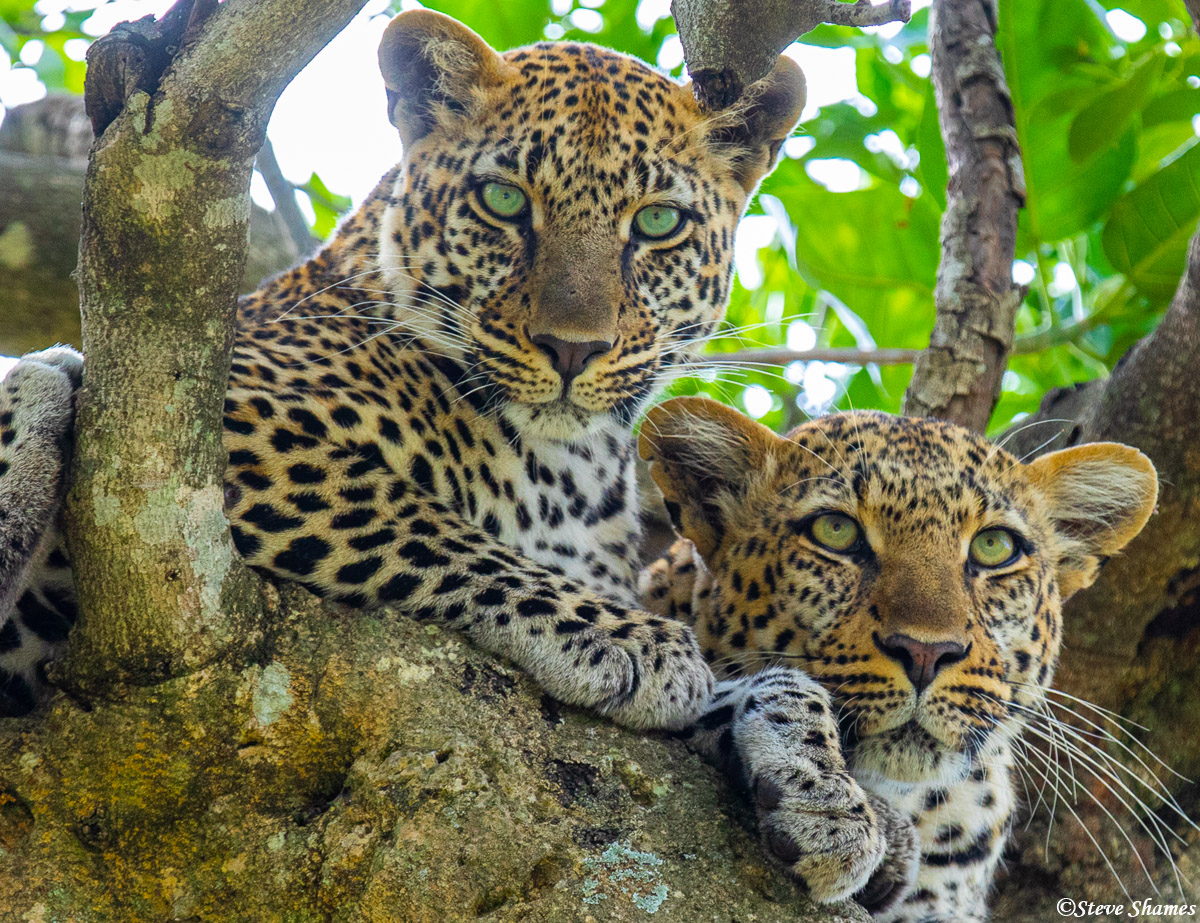 This was a male and female pair hanging out together. Must be mating season, since leopards are usually solitary.