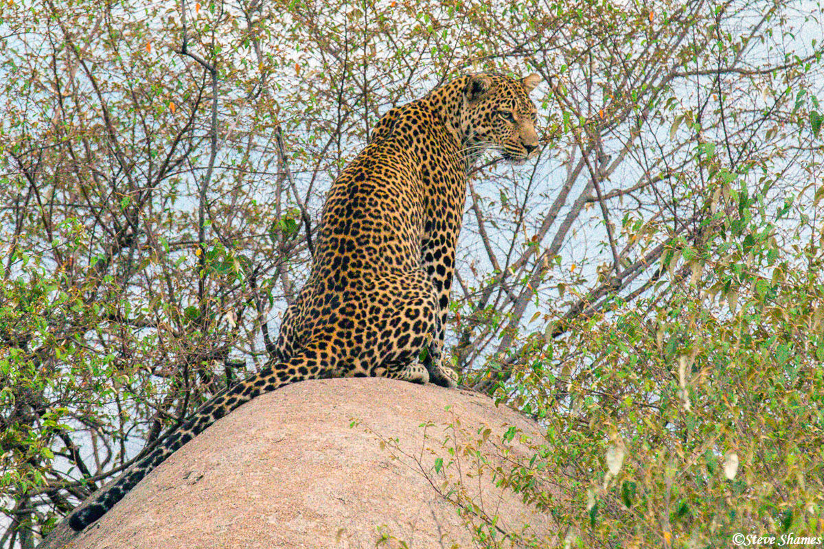 Right after sunrise, we saw this mother leopard at her rocky vantage point.
