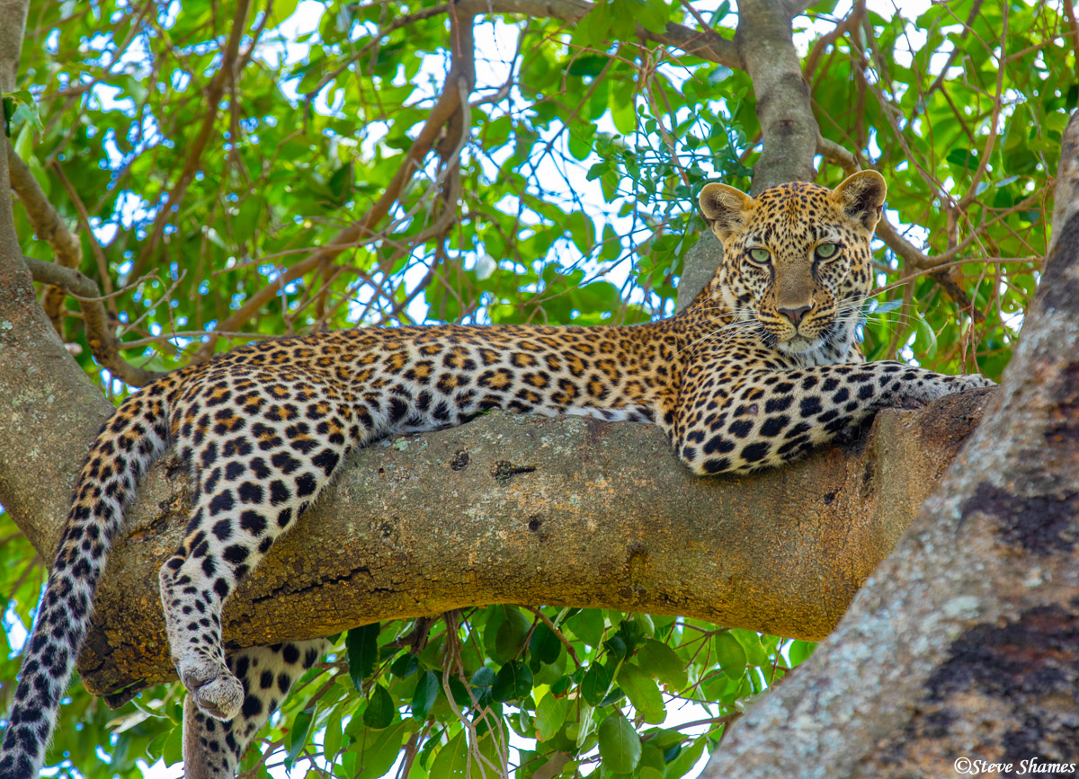 The classic scene of a leopard relaxing on a tree branch. Finally, on my 5th trip to Africa, I see it!