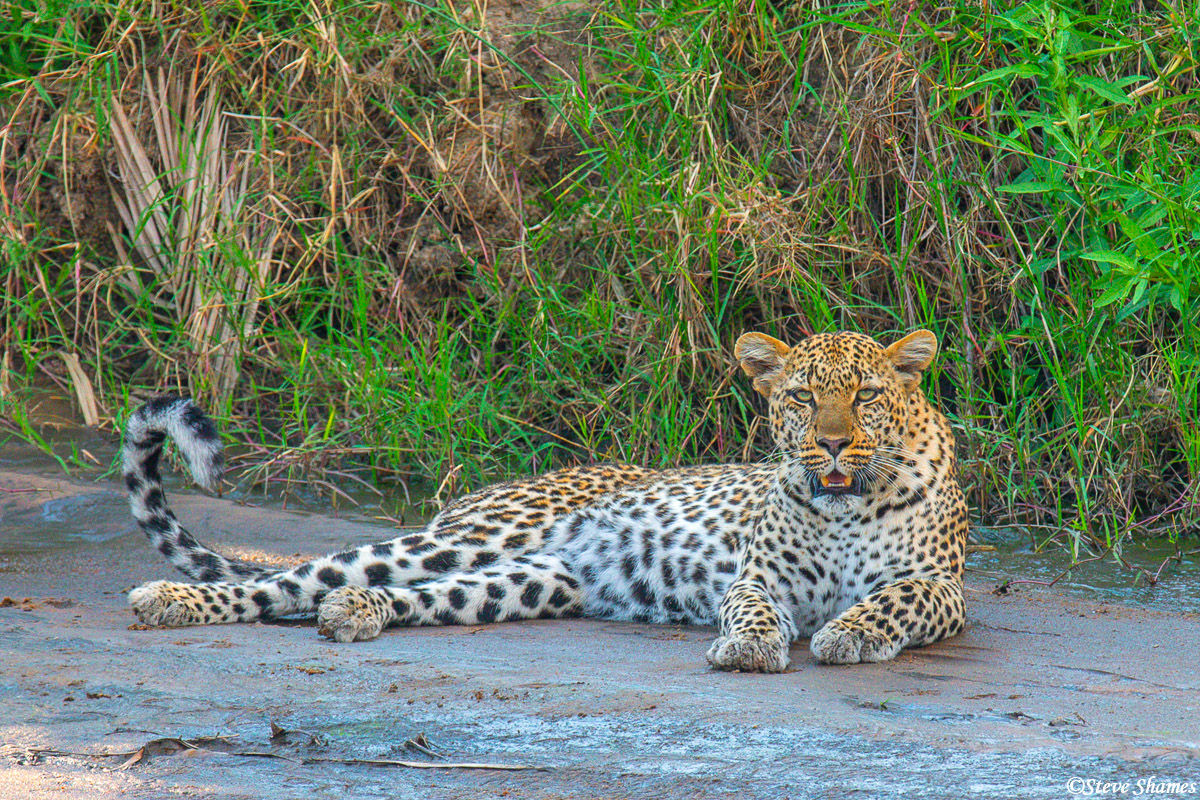 We saw this leopard relaxing by the banks of a small creek.