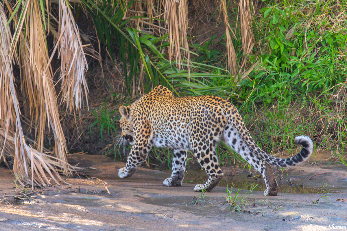 A leopard slinking away into the bush. They tend to like being hidden away during the day.