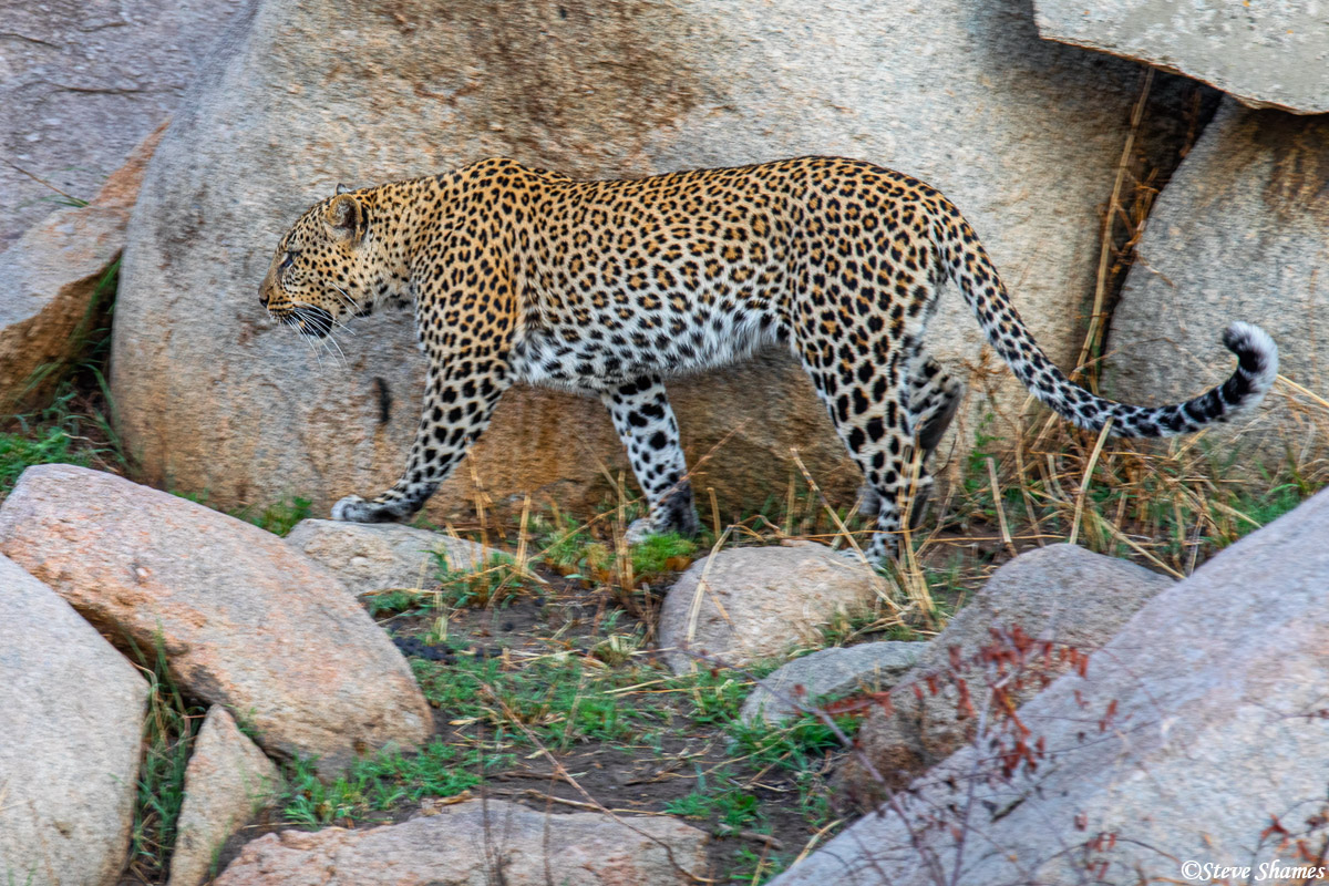 Leopard walking around. They are mostly nocturnal, so they are usually hidden during the day.