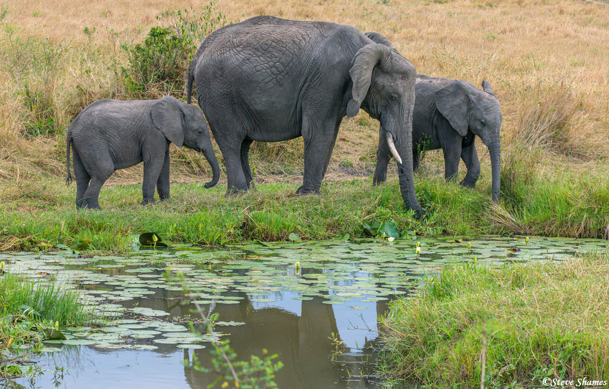 I like this scene of the elephant family by the lily pond.