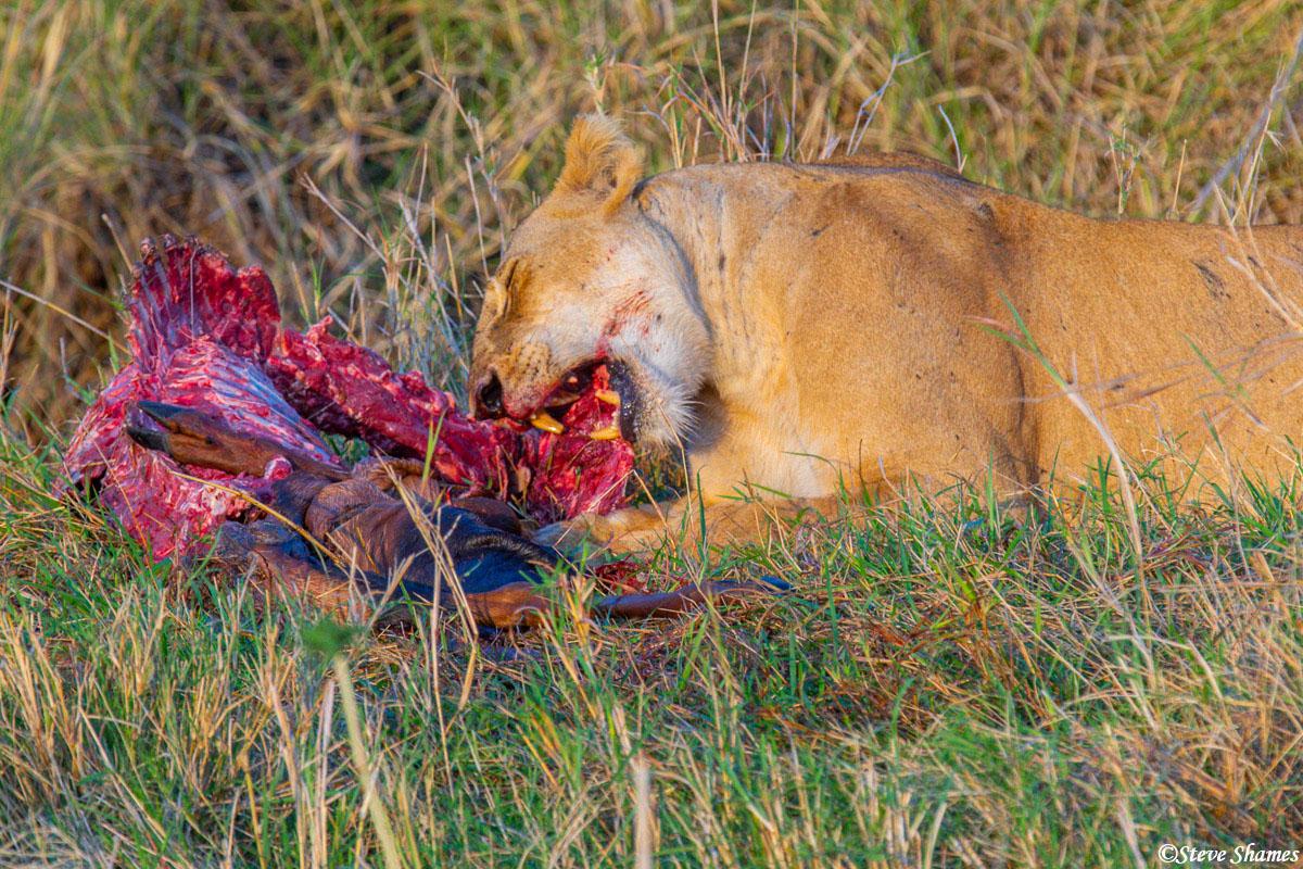 Lioness finishing off last nights kill, for breakfast.