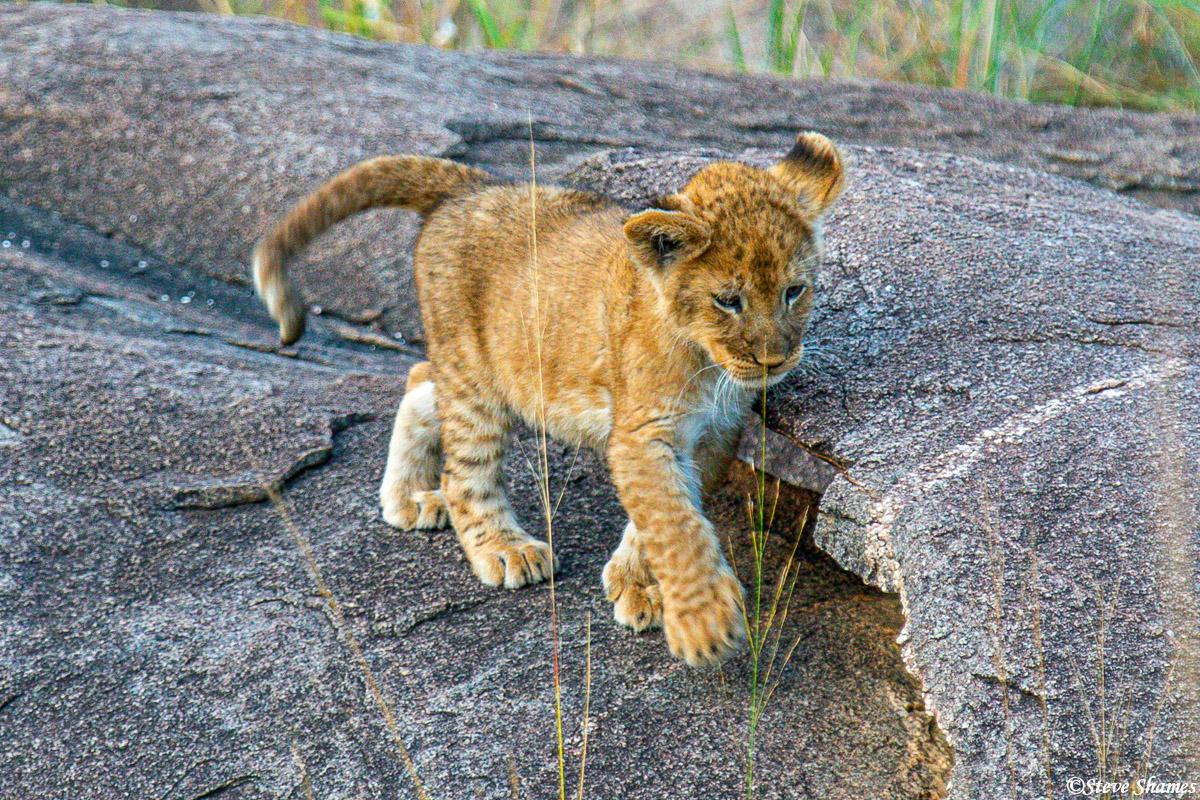 Lion cub playing amongst the rocks.