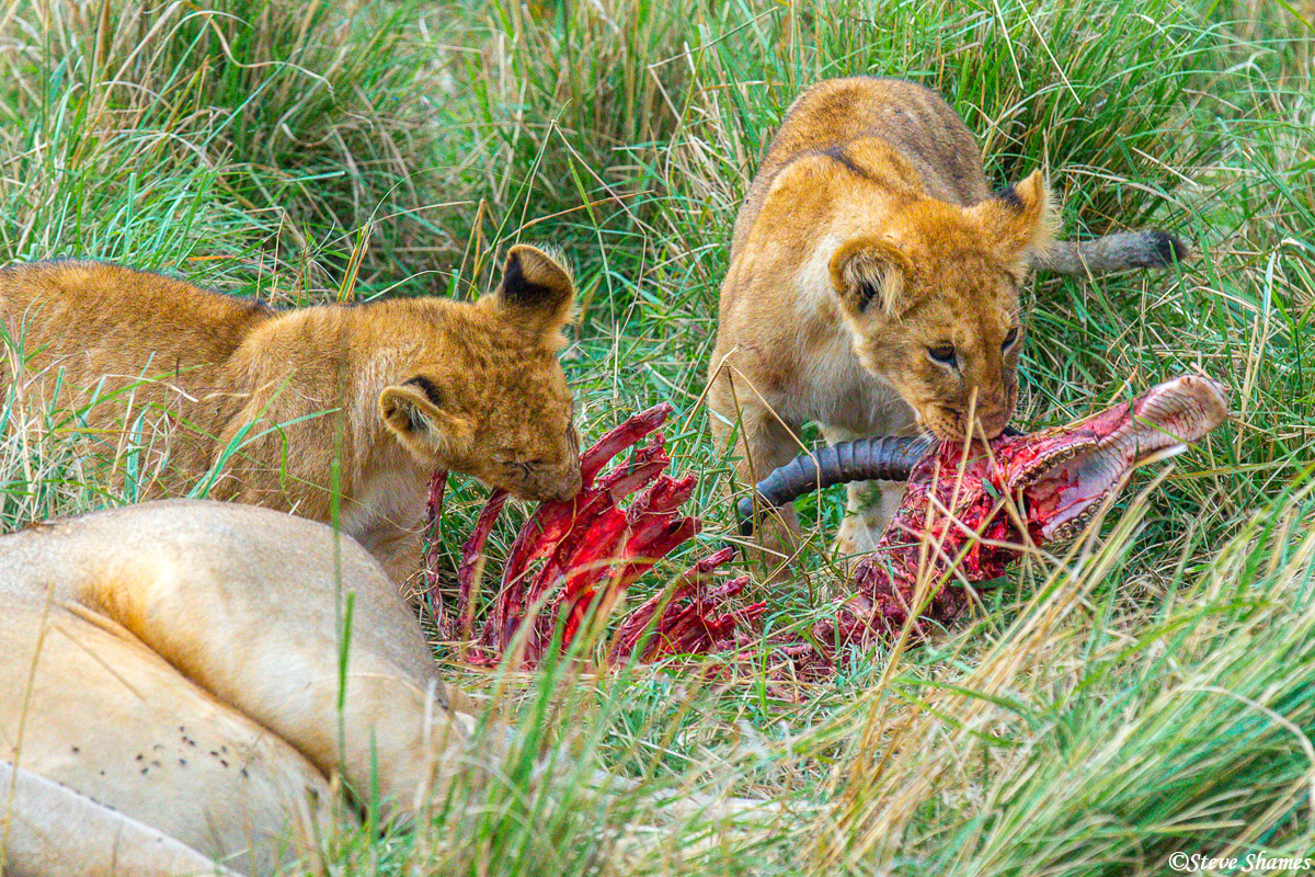 Lion cubs doing what they can with whats left of last nights Topi kill.