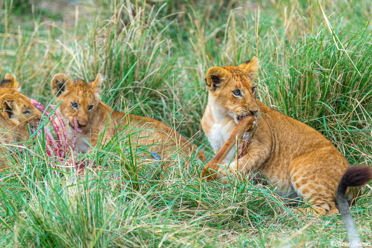 Lion cubs finishing up their meal. Not much left at this point.