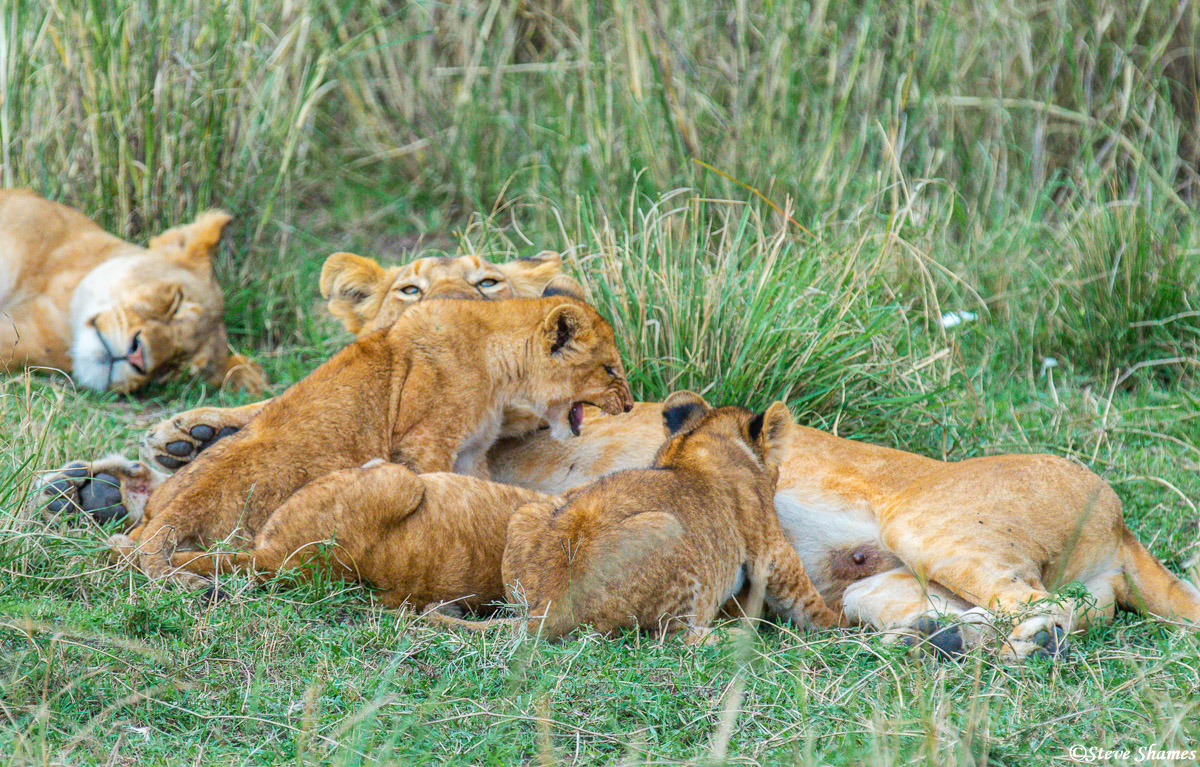 Lion cubs nursing, which involves arguing and fighting, just like when lions eat.