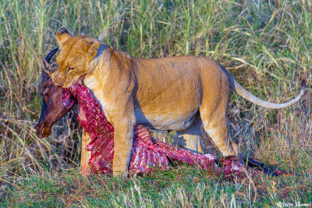 This is the pride that made a kill nearly every night. When we get there after sunrise, they are usually finishing it off. This...
