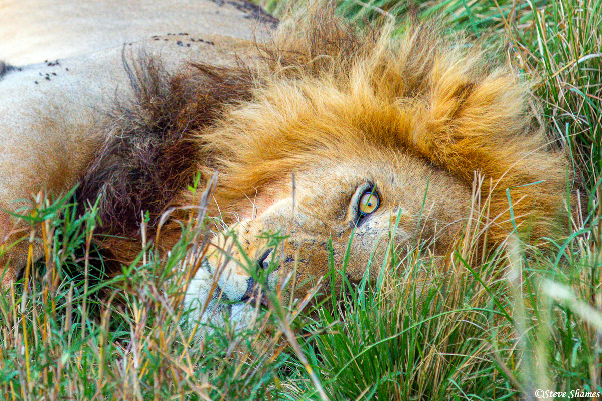 The pride male lion lying in the grass keeping one eye on us.