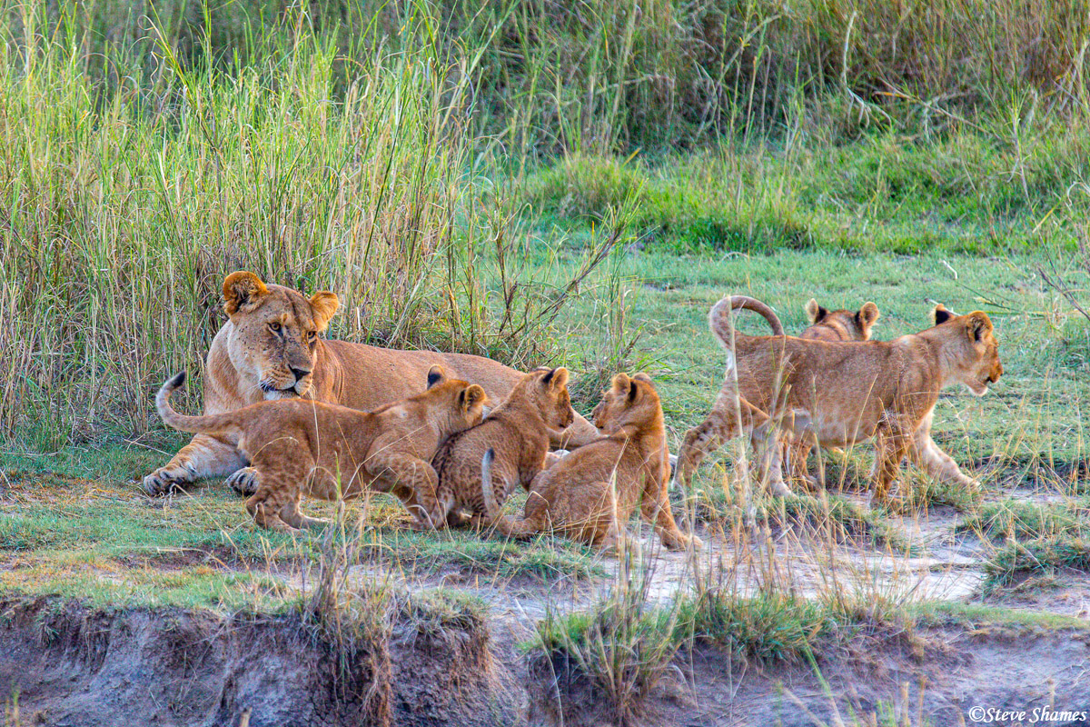 Lion cubs everywhere. This pride had 12 cubs with several mothers.