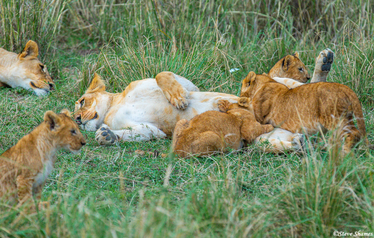 """I call this shot """"lion family life."""" It is just a peek at family activities for a pride of lions with lots of cubs."""