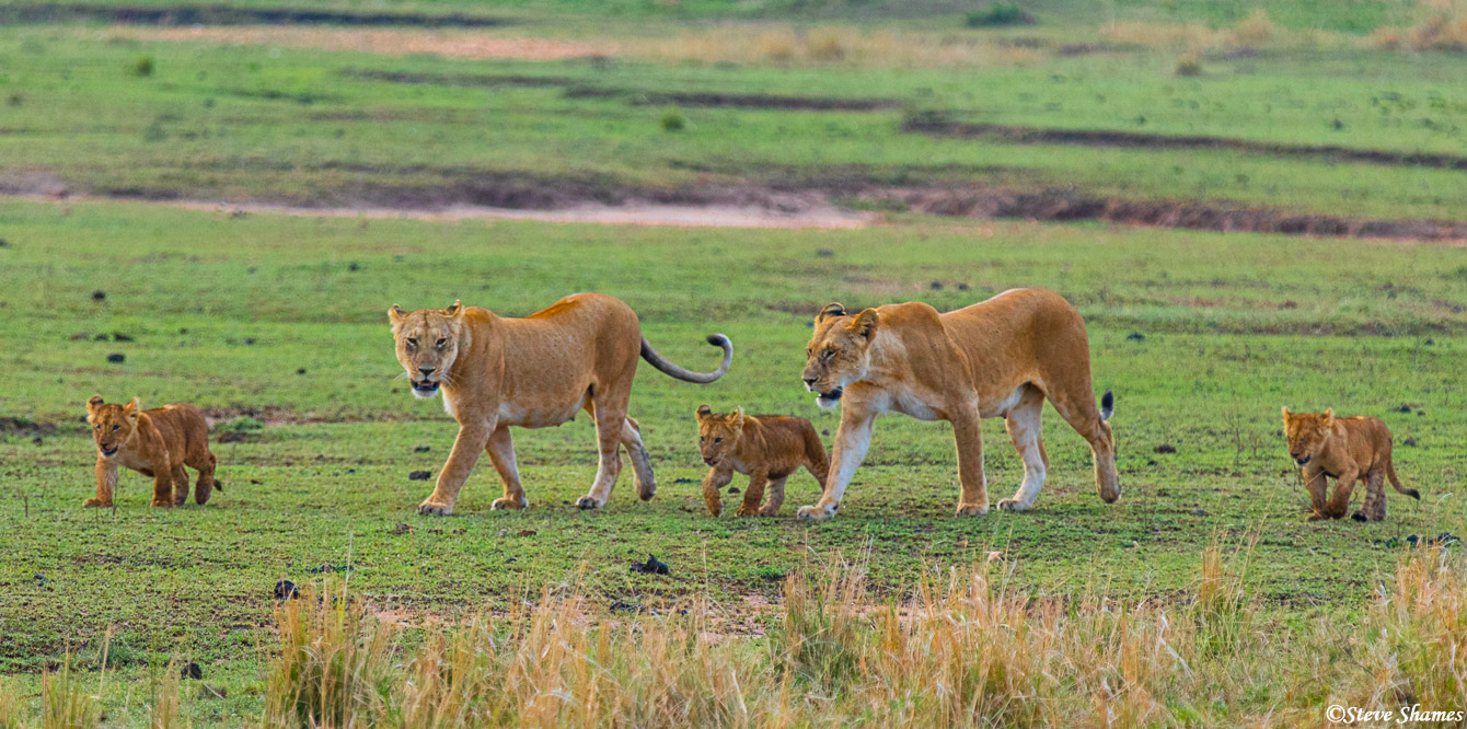 Lion family on the move in the early morning.