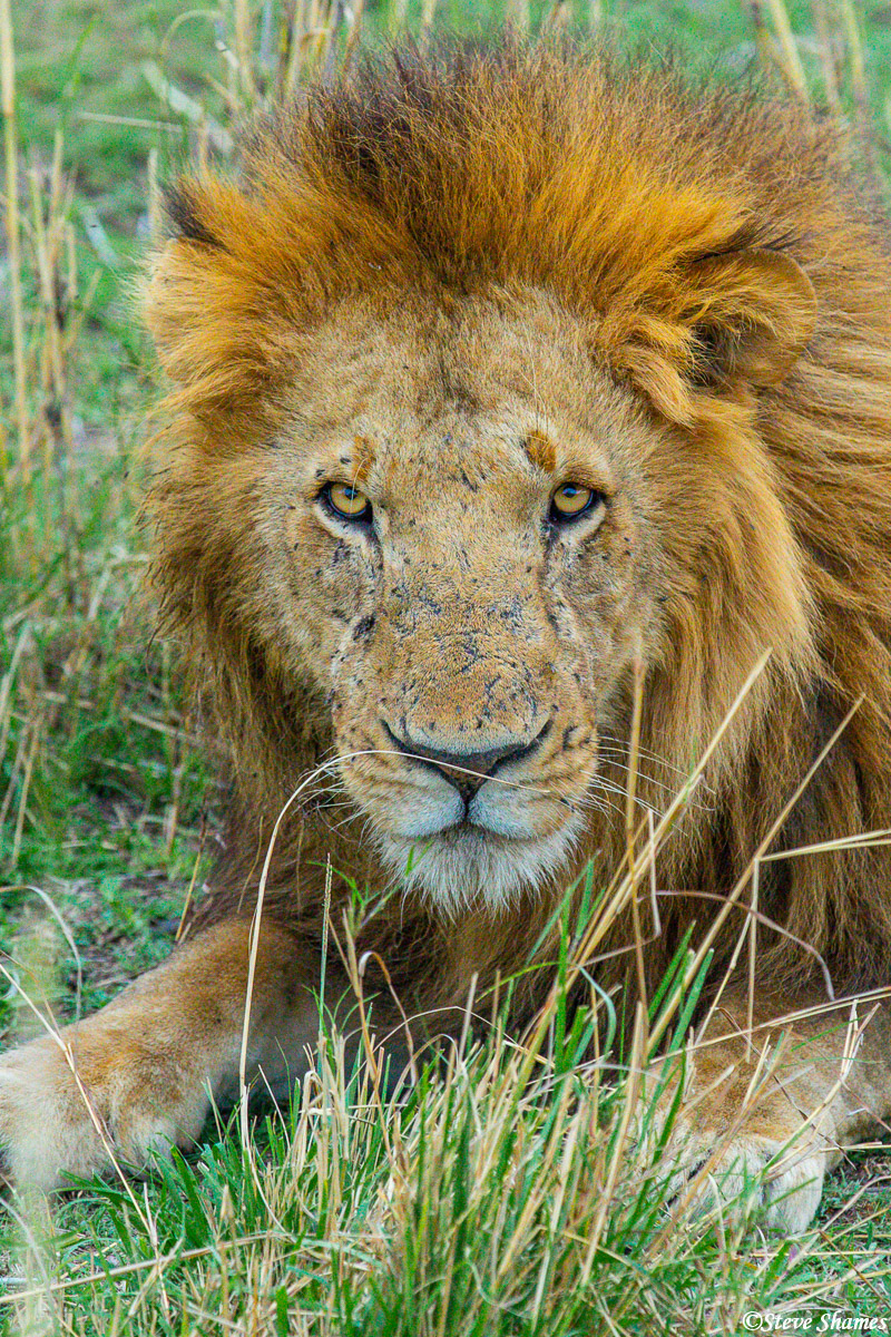 Here is a lion king of the Serengeti with a stern look on his face.
