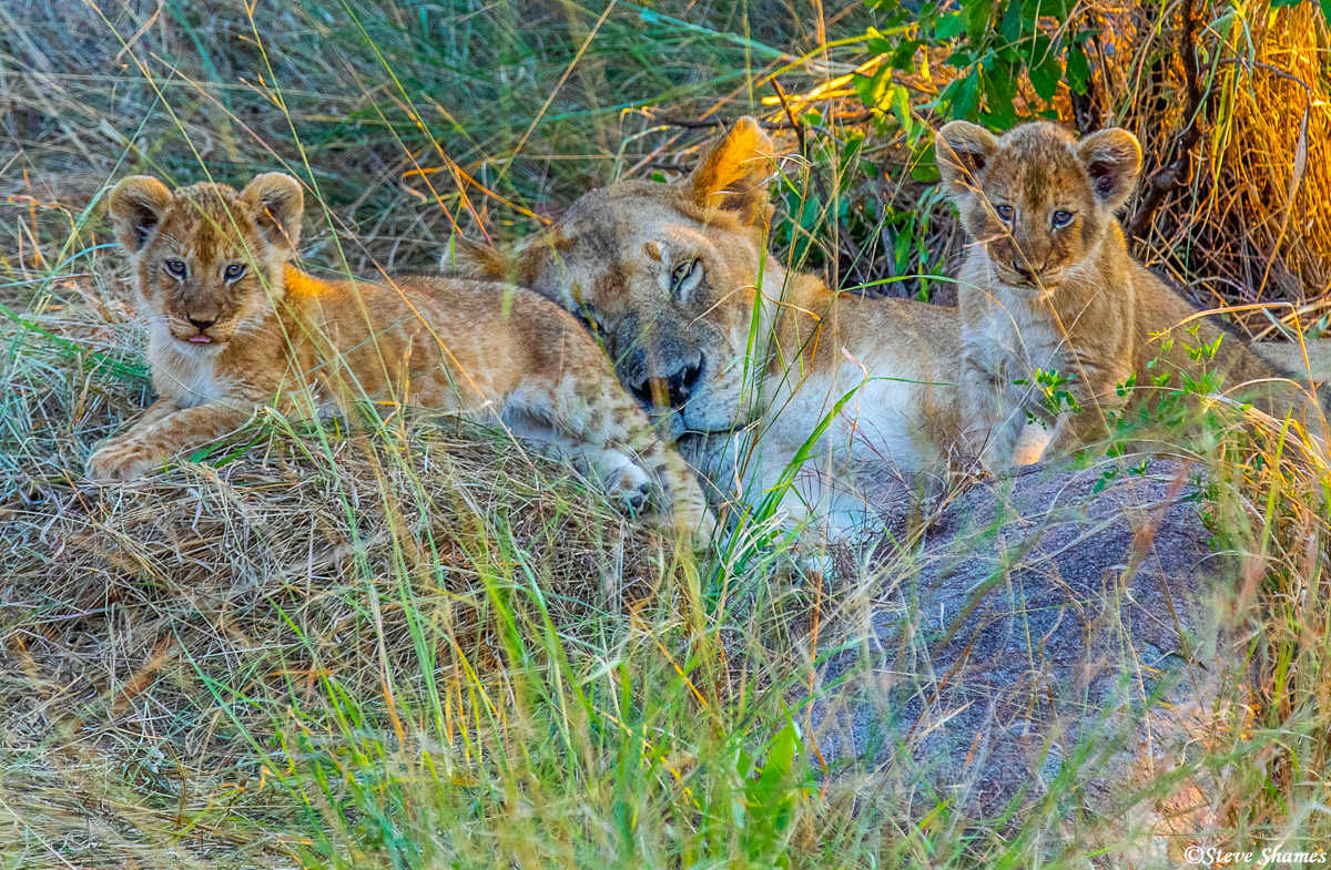 Lions seem so happy to be mothers, and they just love to be with their cubs.