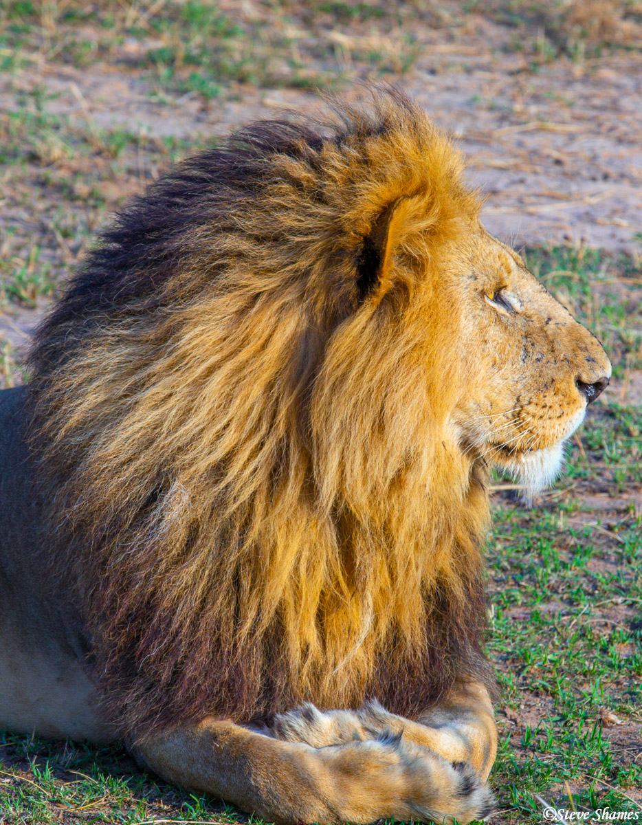 I like profile shots of the male lions. This one has quite a magnificent mane.