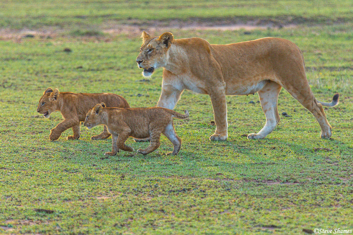 Lioness with her cubs in the early morning.