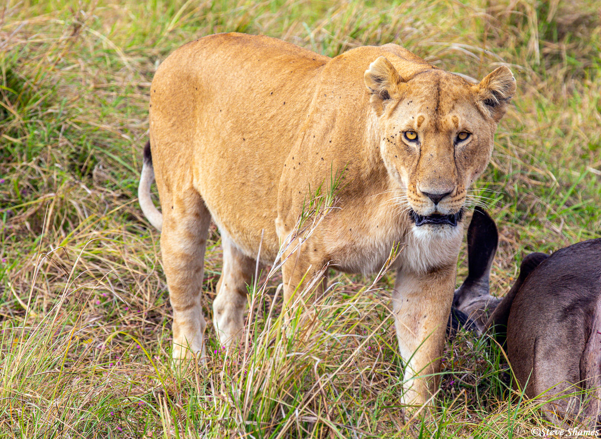 Lioness next to a wildebeest kill. The guts of the wildebeest were pulled out and exposed, so I decided not to add that into...