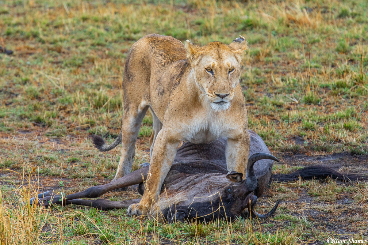 Lioness pausing over her kill. This one was a pretty easy kill.
