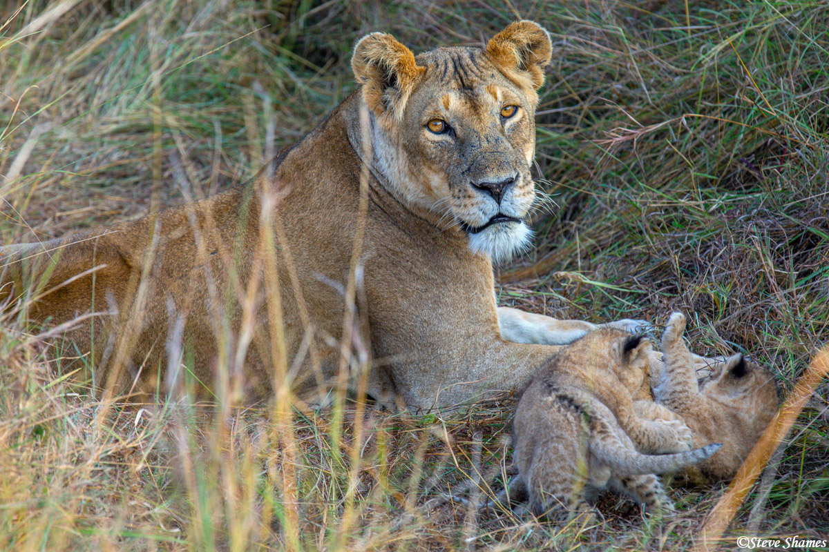 This pride had at least two mothers with two cubs each. These were the youngest cubs.