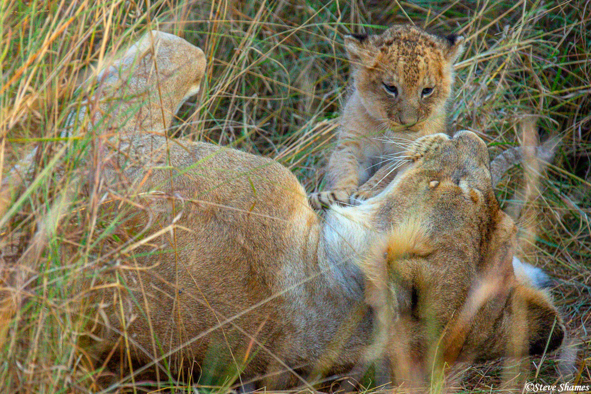 Tiny little lion cub with its mother.