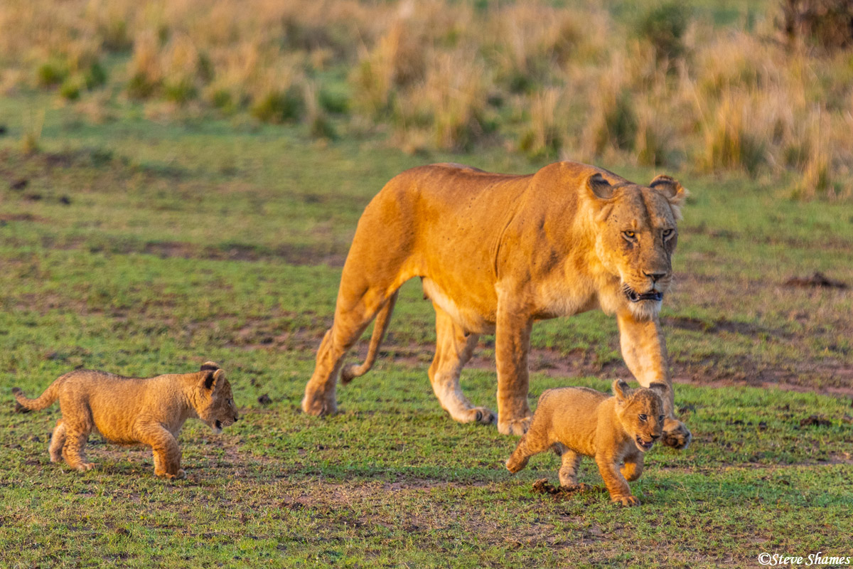 Lioness in the early morning out for a walk with her cubs.