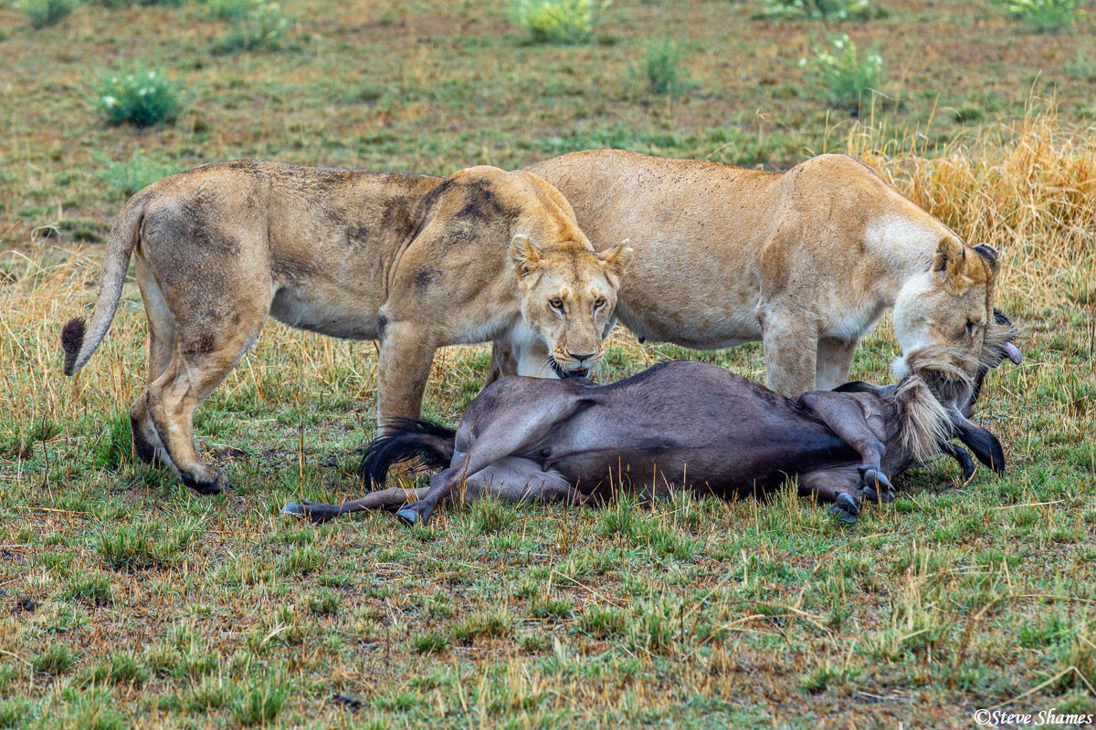 The two female lions brought down the wildebeest in the distance, and by the time we got closer, one lioness still had the suffocation...