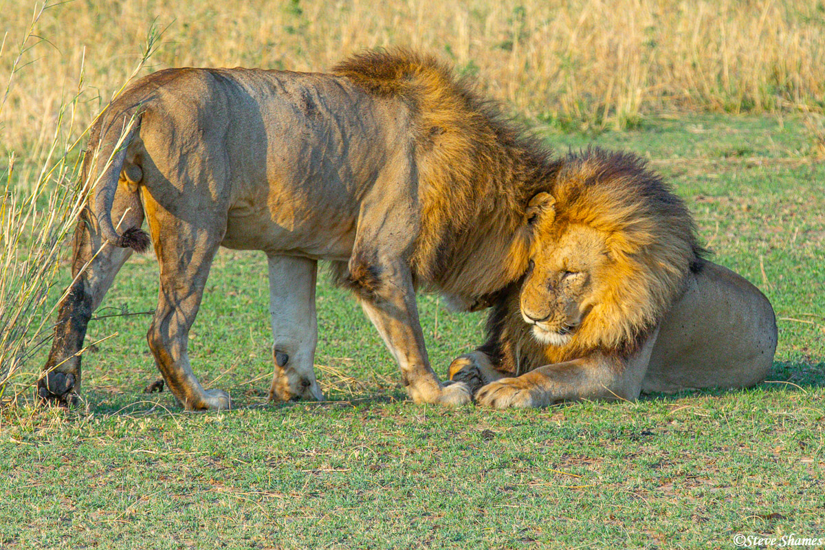 The two pride males head rubbing. The males like to hang out together.