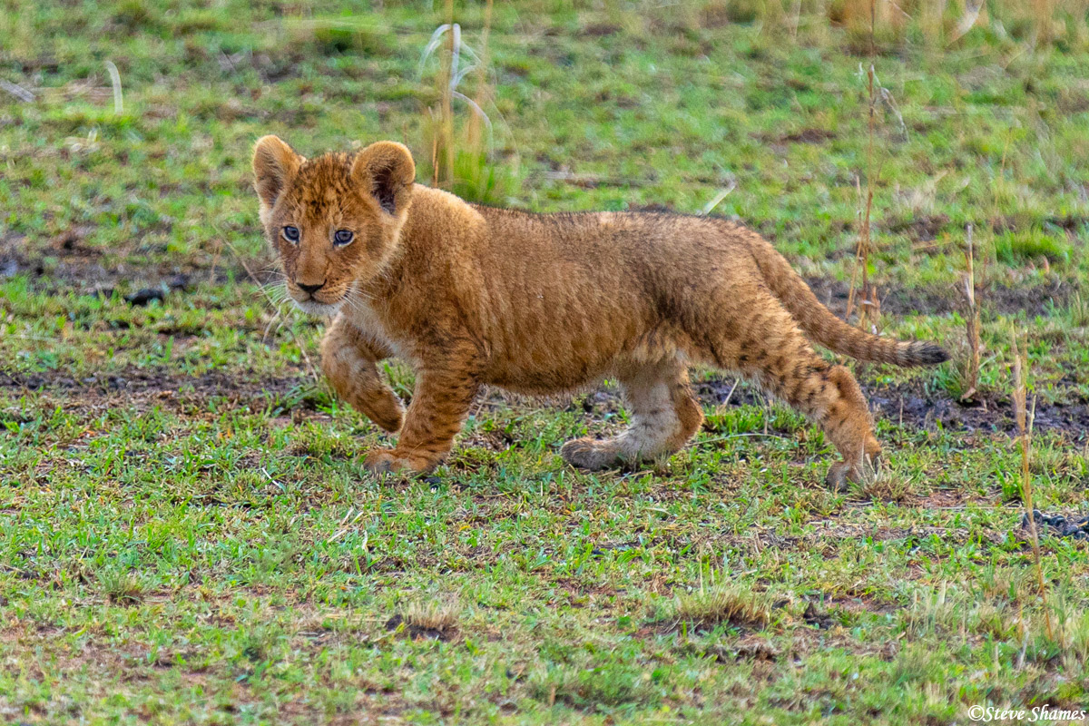 A little lion cub trying to keep up with its mother. He wasn't far behind.