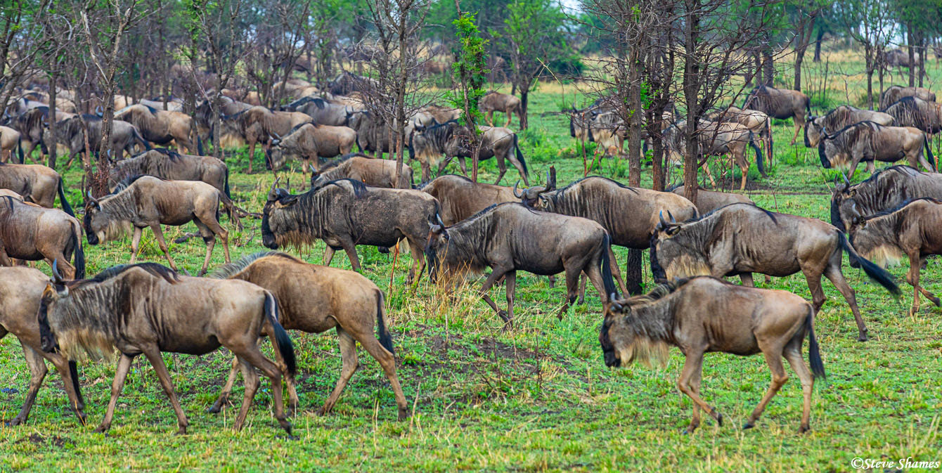 The other name of wildebeest is Gnu, or Bearded Gnu. Here we see a herd slowly heading in the direction of the river.