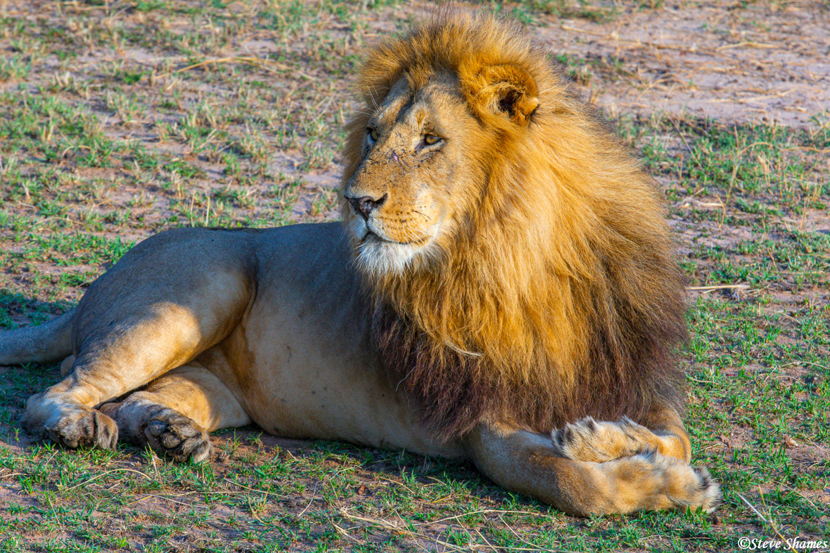 A majestic looking male lion.