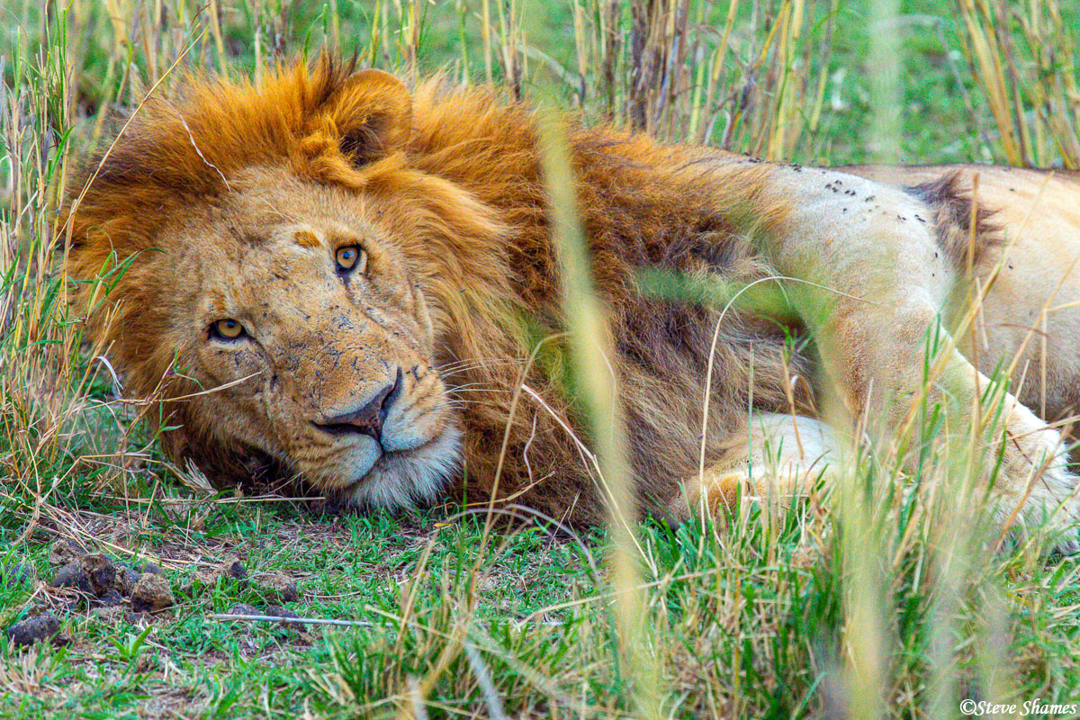 Lion in the grass keeping a watch on us.