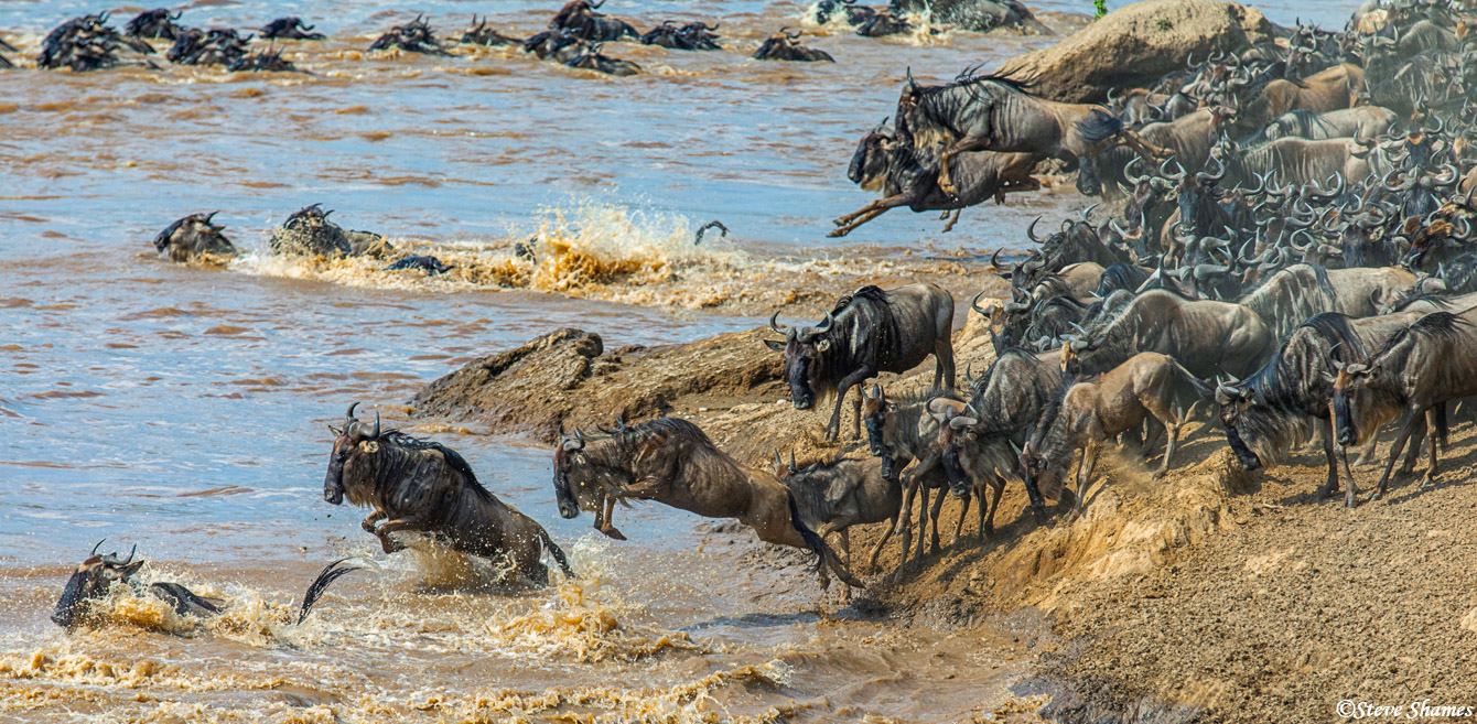 Its just a crazy scene when the wildebeest are crossing the Mara.