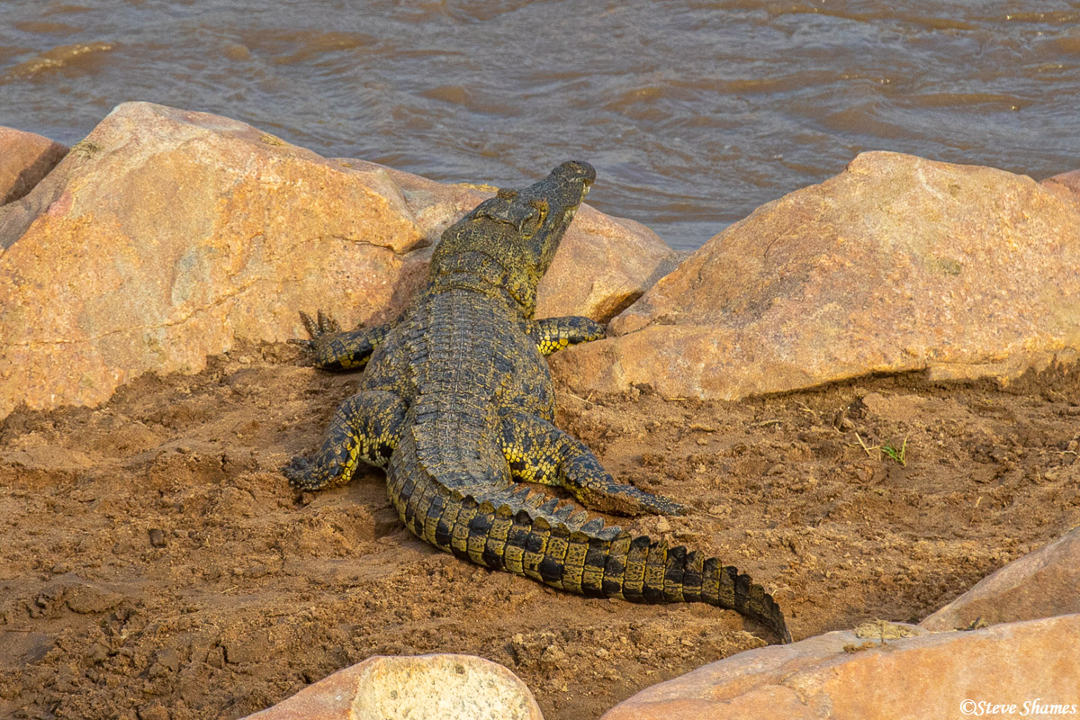 The Mara River is full of crocodiles during the wildebeest crossing season. This is the time of plenty for them.