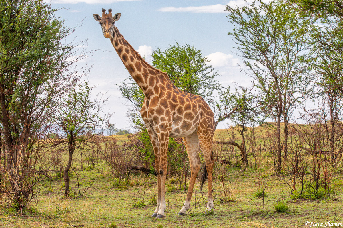 A giraffe in the bush. This is the most common in Africa - the Masai giraffe.