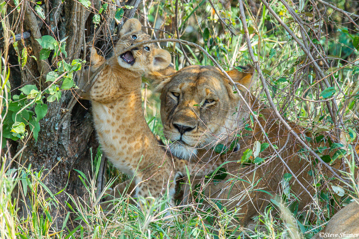 A content looking mother lion with her cub.