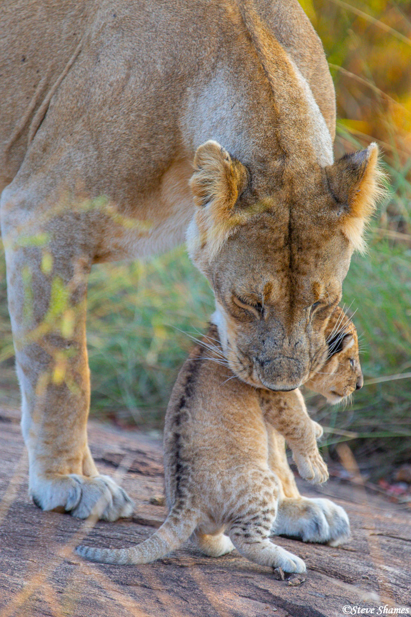 This small lion cub is just the right size to easily pick up and move.