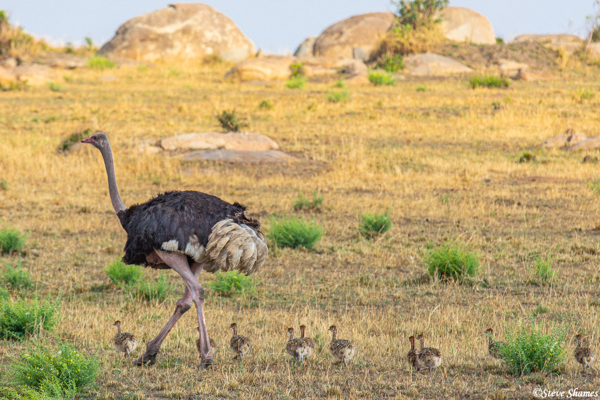 A male ostrich walking along with chicks. Most likely this would be the father of these chicks.
