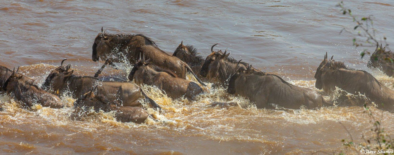 """One way to describe wildebeest crossing the Mara River is """"pandemonium"""" Which is defined as - wild and noisy disorder or confusion..."""