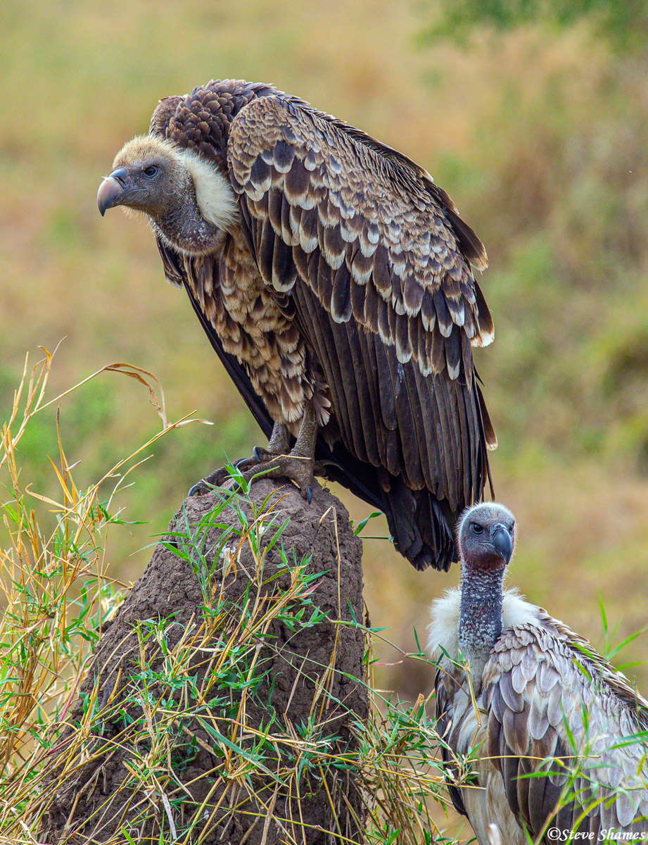Vultures need to have a lot of patience. In this case they are waiting for the hyenas to finish eating.