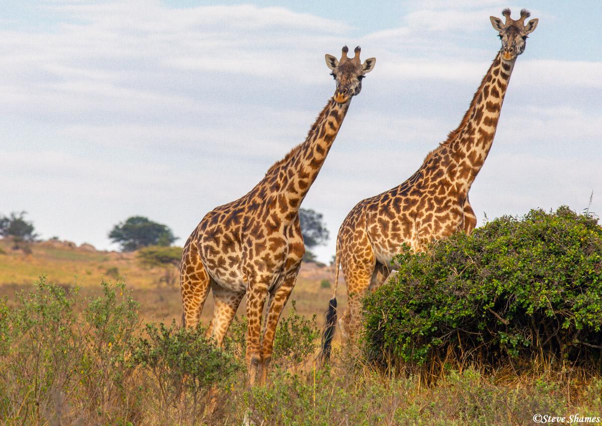 Two Serengeti plains giraffes striking a pose.