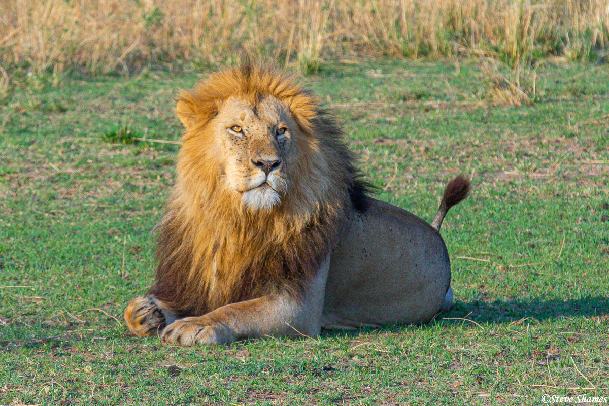 A Serengeti plains lion relaxing in the middle of the day.